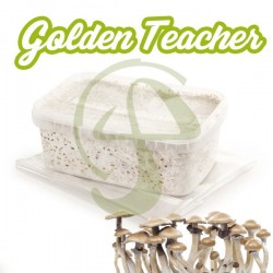 Kit de Setas Golden Teacher 100% Micelio