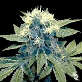 Sharksbreath mayoriamente indica.