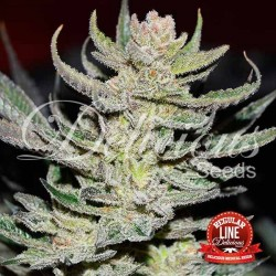 Desconocida Kush Regular