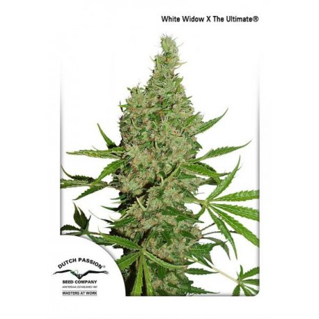 White Widow X The Ultimate Semillas Regulares
