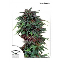Durban Poison Regulares