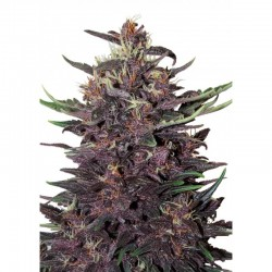 Purple Kush Autofloreciente