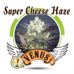 Super Cheese Haze Feminizada