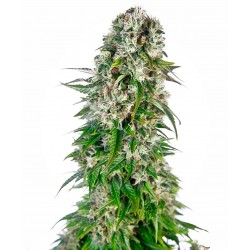 Big Bud Autofloreciente