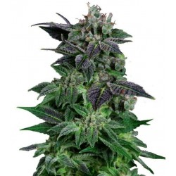 White Widow Autofloreciente
