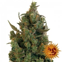 Blue Cheese Feminizada