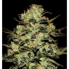 Green House Moby Dick (5 Sem Fem)