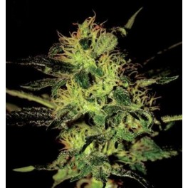Green House Super Critical (5 Sem Fem)