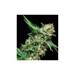 Green House Jack Herer (3 Sem Fem)
