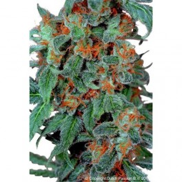 Dutch Passion Orange Bud (10 Reg)