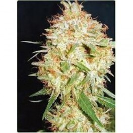 Professional Seeds Critical Widow (1 Fem)