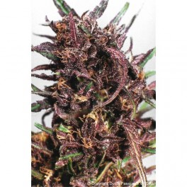 Dutch Passion Purple N1 (3 Fem)